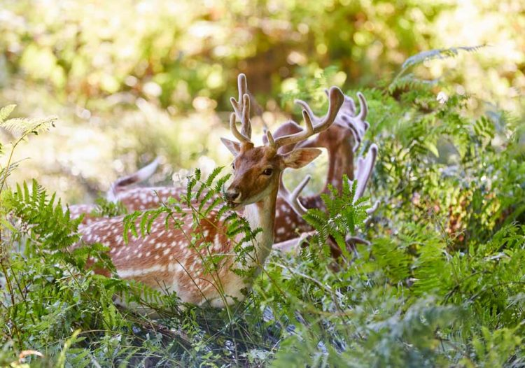 Le daim vit en liberté au parc naturel du Stérou à Priziac dans le Morbihan.