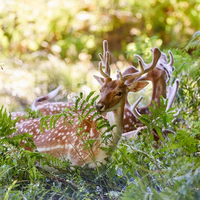 Daims en liberté dans le parc naturel du Stérou à Priziac dans le Morbihan.