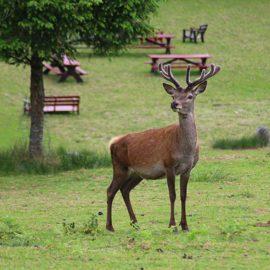 Daims et cerfs en liberté dans le parc naturel du Stérou à Priziac dans le Morbihan.