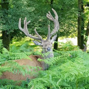 Brame du cerf en voiturette électrique du 15 septembre au 15 novembre au Stérou, parc naurel à Priziac dans le Morbihan.